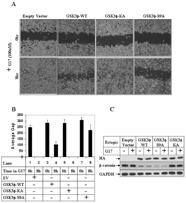 Effect of overexpression of GSK3β on G17-induced migration . (A) . Subconfluent AGSE cells were transiently transfected with Empty Vector, GSK3β-WT, GSK3β-KA mutant or GSK3β-S9A mutant vectors. The cells were wounded linearly 48 hours post-transfection and, after an overnight recovery following wounding, they were treated with G17 and pictures obtained at the indicated times. (B) AGSE cells were transfected as in 4A followed by G17 treatment and wound healing assay. The distance of migration of the wounded edges for each time point were measured at several places and the average distance was represented by bar diagrams as