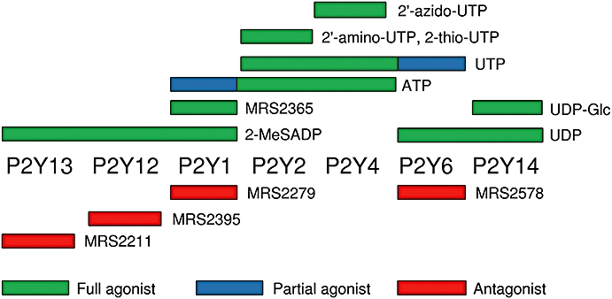 Selectivity of ligands for the P2Y receptors expressed in rat cultured ASMC. ( Abbracchio et al ., 2006 ). The structures of the ligands are shown in Figure S1 . 2′-amino-UTP, 2′-amino-2′-deoxyuridine-5′-triphosphate; 2′-azido-UTP, 2′-azido-2′-deoxyuridine-5′-triphosphate; 2-MeSADP, 2-methylthio-adenosine-5′-diphosphate; 2-thio-UTP, 2-thio-uridine-5′-triphosphate; MRS2211, 2-[(2-chloro-5-nitrophenyl)azo]-5-hydroxy-6-methyl-3-[(phosphonooxy)methyl]-4-pyridinecarboxaldehyde; MRS2279, 2-chloro- N 6 -methyl-( N )-methanocarba-2′-deoxyadenosione-3′,5′-bisphosphate; MRS2365, ( N )-methanocarba-2-MeSADP; MRS2395, 2,2-dimethyl-propionic acid 3-(2-chloro-6-methylaminopurin-9-yl)-2-(2,2-dimethyl-propionyloxymethyl)-propyl ester; MRS2578, N,N″-1,4-butanediylbis [N′-(3-isothiocyanatophenyl)thio] urea; UDP-Glc, uridine-5′-diphospho-α- d -glucose.