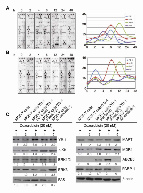 Differential expression patterns of YB-1, c-Kit, MAPT and GST in time course . MCF-7 cells that incubated with 20 nM doxorubicin for the indicated periods of time revealed different kinetic patterns for YB-1 and GST expressions between sensitive and resistant MCF-7 cells. A: Dot blot array analysis on doxorubicin sensitive MCF-7 cells. B: Dot blot array analysis on the doxorubicin resistant MCF-7 cells. A and B: The scale on x-axis is not in proportion with time. In the time course study, actin was employed as a control for normalization, because GAPDH was regulated in doxorubicin resistant MCF-7 cells. C: Effect of doxorubicin on the expression of drug resistance related target proteins YB-1, c-Kit, ERK1/2, ERK3, FAS, MAPT, MDR1, ABCB5 and PARP-1 in the four subtypes of MCF-7 cells. 1, 2 are MCF-7 and MCF-7/vector-YB-1 respectively without treatment of doxorubicin. 3, MCF-7/vector-YB-1 with treatment of doxorubicin for 6 h (not fused cells); 4, MCF-7/vector-YB-1 with treatment of doxorubicin for 6 h (fused cells, FACS sorted R2); 5, doxorubicin resistant MCF-7 cell line. Numbers indicate a relative level of protein expression based on the level of intensity of β-actin after normalization.
