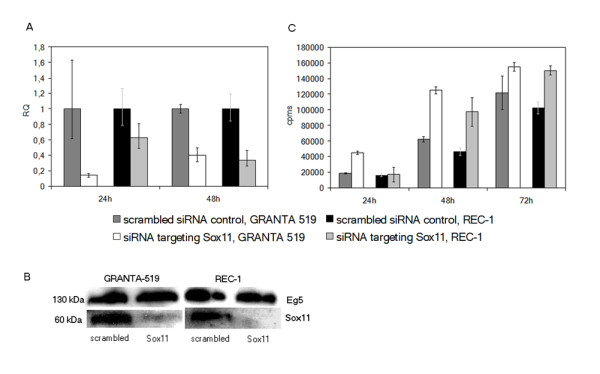 siRNA knock-down of SOX11 increase proliferation . Effect of the siRNA induced knock-down of the SOX11 gene in GRANTA-519 and REC-1 on, a) mRNA level at 24 and 48 h; b) protein level at 48 h and 72 h, respectively, and c) proliferation at 24, 48 and 72 h. A control siRNA targeting the Eg5 gene was used as a positive control (only shown in b). All values in a) are relative quantity values (RQ) compared to the scrambled siRNA control. The data is representative of three independent assays. In a) the error bars show the 95% confidence interval, while in c) ±1 SD is shown.