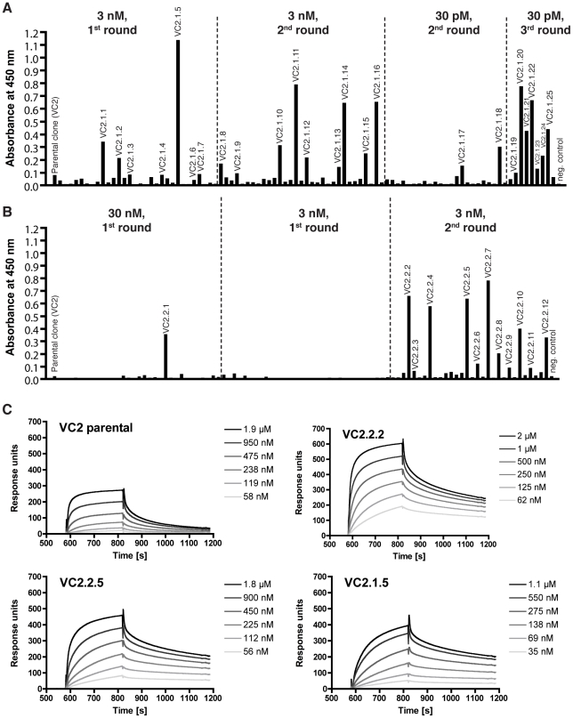 Affinity matured anti-VEGF-C scFvs possess a higher affinity. (A, B) ELISA analysis of bacterial supernatant from randomly picked affinity matured clones after 1 to 3 rounds of selection on biotinylated (A) P. pastoris -derived or (B) mammalian cell-derived ΔNΔC-VEGF-C. (C) BIAcore profiles of monomeric affinity matured anti-VEGF-C scFvs. Monomeric fractions of protein-A purified scFv were prepared by FPLC and injected as 2-fold dilution series on a streptavidin-sensorchip coated with 2000 RU biotinylated ΔNΔC-VEGF-C derived from mammalian cells.