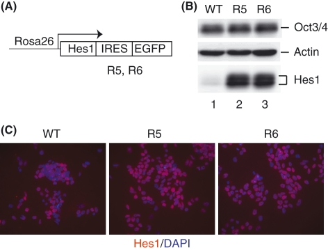 Hes1 protein expression in Hes1-sustained embryonic stem (ES) cells. (A) The structure for sustained Hes1 expression. The Hes1 cDNA with the IRES-EGFP sequence was knocked-in into the Rosa26 locus, so that Hes1 and EGFP were constitutively expressed from the Rosa26 promoter ( Kobayashi et al. 2009 ). (B) Hes1 and Oct3/4 expression in the wild-type (WT) and Hes1-sustained (R5, R6) ES cell lines. Actin is a loading control. (C) Immunostaining of Hes1 (red) with DAPI staining (blue) in ES cell lines.
