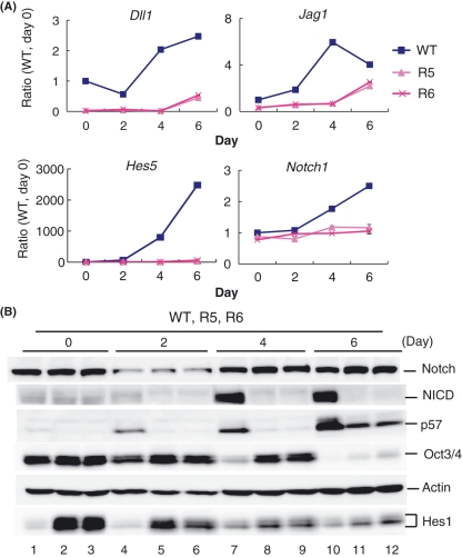 Hes1 regulates expression of Notch signaling and cell cycle factors during differentiation. (A) mRNA levels of Notch signaling genes, Dll1 , Jag1, Hes5 and Notch1 . (B) Protein levels of Notch1 receptor, Notch intracellular domain (NICD), p57, Oct3/4 and Hes1 in the wild-type cells (WT; lanes 1, 4, 7 and 10) and in Hes1-sustained cells (R5; lanes 2, 5, 8 and 11, R6; lanes 3, 6, 9 and 12) under a neural differentiation condition.
