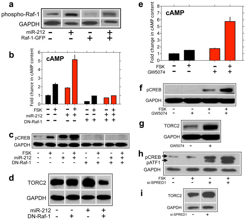 miR-212 amplifies CREB signaling through Raf-1 a , miR-212 activates Raf-1 signaling, reflected in increased levels of phosphorylated endogenous and exogenous (Raf-1-GFP) Raf-1 protein. b, Dominant-negative Raf-1 (DN-Raf-1) abolished the stimulatory effects of miR-212 on cAMP accumulation. c, DN-Raf-1abolished miR-212-induced increases in p-CREB. d, DN-Raf-1 also abolished miR-212-induced increases in TORC2. e, Enhancing Raf-1 signaling by pulsing cells with the Raf-1 inhibitor GW5074 potentiated cAMP accumulation. f, Potentiation of Raf-1 signaling increased p-CREB levels. g, Potentiation of Raf-1 signaling increased TORC2 levels. h, Knockdown of the Raf-1 repressor SPRED1, a target for miR-212, increased p-CREB levels. i, SPRED1 knockdown also increased TORC2 levels. Data are presented as mean ± SEM.