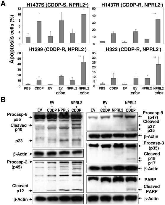 Induction of caspases by exogenous expression of NPRL2 and cisplatin in non-small cell lung cancer cells. ( A ) Induction of apoptosis in H1299 cells treated NPRL2 in the presence or absence of cisplatin ( CDDP ) by flow cytometry analysis with TUNEL staining. The PBS treated and empty vector ( EV ) treated cells were used as mock and negative controls, respectively. Error bars indicate SDs of the mean in three individual experiments (*, P