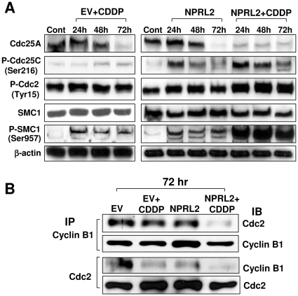 NPRL2 enhances the effect of <t>cisplatin</t> that can activate cell cycle checkpoints. H1229 cells treated with empty vector + IC 20 dose of cisplatin (3.0 µM), NPRL2, or NPRL2+ IC 20 dose of cisplatin were harvested at 24, 48, and 72 h after treatment and analyzed by Western blotting for expression of cell cycle signaling molecules. Control H1299 cells were treated with empty vector and harvested at 72 h after treatment. β-actin was used as a loading control. ( A ) Cdc25A was degraded by the treatment of NPRL2 or IC 20 dose of cisplatin 72 h later, and this degradation in treatment of NPRL2+ cisplatin strongly appeared 24 to 72 h later. P-Cdc25C was slightly increased by treatment with cisplatin; in contrast, it was remarkably increased by treatment with NPRL2 or NPRL2+ cisplatin. P-Cdc2 and P-SMC1 were clearly enhanced more with NPRL2+ cisplatin treatment than with cisplatin or NPRL2 treatment. ( B ) Immunoprecipitation Western blotting (IP-WB) analysis for protein-protein interaction between Cdc2-cyclin B1. H1299 cells were transfected with either empty vector or NPRL2 plasmid with or without IC 20 value of cisplatin. The backbone plasmid vector without NPRL2 was used as a transfection control. Protein extracts were collected 72 h after transfection and immunoprecipitated with either anti-Cdc2 or anti-cyclin B1 antibody and immunoblotted with Cdc2 or cyclin B1 antibody. NPRL2 and cisplatin treatment remarkably degraded the interaction of Cdc2/cyclin B1 complex.