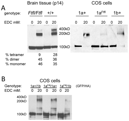 DNM1a Ftfl is defective in higher order homo-oligomerization. (A) Left panel , protein extract from P14 whole brain tissue of homozygous fitful and wildtype littermates incubated with 0 or 20mM EDC cross-linker and hybridized with anti-dynamin-1 antibody. Monomers migrate at 100kD, dimers at 200kD and the tetramers are at 400kD. This assay was performed over three separate times with different samples each time; a representative blot with corresponding percentages is shown. Mean densities (± 1SD) from all experiments are: wildtype 28.75±8.24 (monomer), 29.67±13.9 (dimer), 43.9±8.5 (tetramer); mutant 44±10.7 (monomer), 39.5±12.2 (dimer), 23±13.5 (tetramer) Right panel , COS-7 cells transfected with DNM1-GFP constructs show differences in dimerization. (B) COS-7 cells doubly transfected with DNM1-GFP and DNM1-HA constructs show isoform heterodimerization. Protein extracts from cells were incubated with 0 or 20mM EDC and analyzed by Western blot. Blots were hybridized with anti-GFP antibody, stripped of antibody and then re-hybridized with anti-HA antibody in order to ascertain the presence of each construct in the dimers. A representative blot hybridized with anti-GFP antibody is shown.