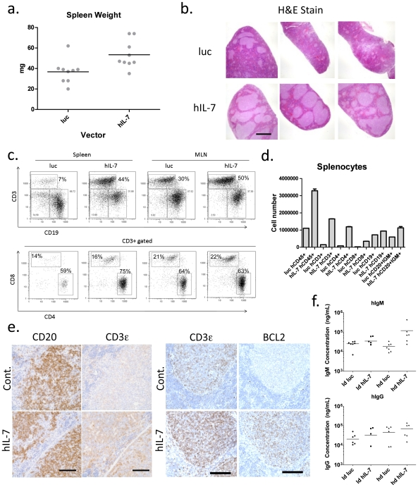 Lentiviral vector delivery of hIL-7 improves T cell levels in the spleens and lymph nodes of HIS mice, and increases BCL2 expression. Spleens were removed from hIL-7 (low dose group) or luciferase expressing mice and weighed. b. Splenic sections were H E stained (scale bar = 1 mm). c. Spleens and lymph nodes were processed into single cell suspensions and flow cytometry was used to analyze the percentage of human CD3+ versus CD19+ cells in the different groups. CD3+ cells were analyzed to quantify CD4+ and CD8+ subsets. d. Absolute cell numbers for the indicated lineages were determined using splenocytes from hIL-7 expressing or control mice. e. Serial splenic sections were stained with antibodies against human CD3 (scale bar = 100 µm) or CD20 (scale bar = 100 µm), and another set with CD3 (scale bar = 100 µm) and BCL2 (scale bar = 100 µm). f. Serum from both low and high dose hIL-7 expressing mice or luciferase controls was assayed to determine the concentrations of total IgM or total IgG.