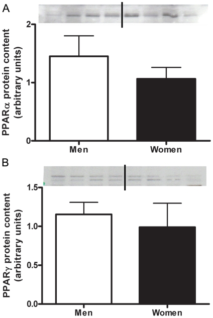No sex differences in PPARα or PPARγ protein content. Protein content of PPARα (A) and PPARγ (B) in skeletal muscle of men and women, adjusted to actin. Representative western blots; lanes 1–4 are men, lanes 5–8 women. N = 12 men and 11 women.