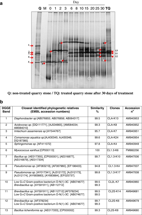 PCR-DGGE profiles representing the succession in the bacterial community structure, as well as the monitoring during the time course experiment of M. xanthus on quarry calcarenite. DNA was directly extracted from non-treated ( Q ) and treated ( TQ ) stone slabs, as well as from aliquots taken from the culture medium of treated samples during the time course experiment, and subsequently amplified with the 16S rRNA primers pair 341f/907r. Numbers of lanes indicate sampling days. Lane M , marker of M. xanthus . DGGE-bands identified from the 16S rDNA clone libraries are numbered and are indicated by arrowheads . These bands are described in the b . Closest relative, as determined by comparative sequence analysis, level of identity with this relative, clone designation, and accession number for each band are summarized in b