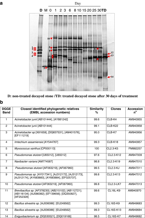 PCR-DGGE profiles representing the succession in the bacterial community structure, as well as the monitoring during the time course experiment of M. xanthus on decayed calcarenite. DNA was directly extracted from non-treated ( D ) and treated ( TD ) stone slabs, as well as from aliquots taken from the culture medium of treated samples during the time course experiment, and subsequently amplified with the 16S rRNA primers pair 341f/907r. The description for lane numbers and for b are as indicated for Fig. 1