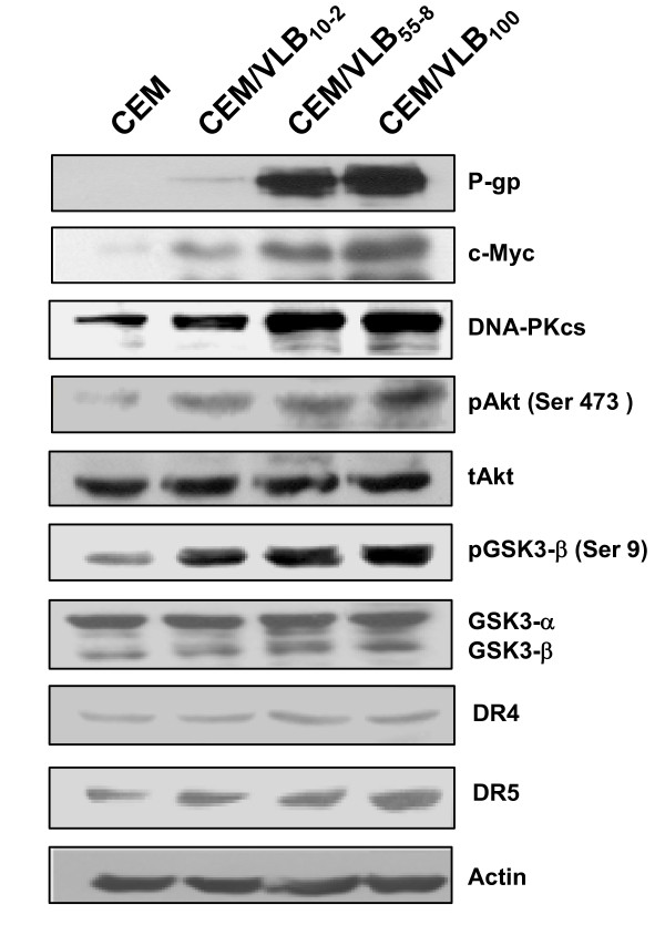 Expression of p-gp in MDR cells is associated with the enhanced expression of c-Myc and DR5 and activation of DNA-PKcs/Akt/GSK-3β pathway . The protein levels of P-gp, c-Myc, DNA-PKcs, pAkt, GSK-3β, phosphorylated Akt (pAkt) at Ser 473, total Akt (tAkt), phosphorylated GSK-3β (pSK3β) at Ser9, total GSK-3α/β, DR4 and DR5 were determined by western analysis. Actin was used as a loading control.