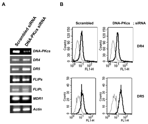 Supprerssion of DNA-PKcs up-regulated surface expression of DR5 and down-regulated the expression of c-FLIPs . (A) CEM/VLB 100 cells were transfected with a siRNA against DNA-PKcs or scrambled siRNA as a control. After 48 h, the total RNA extracted from transfectant of CEM/VLB 100 cells performed RT-PCR analysis to monitor the mRNA levels of DNA-PKcs, DR4/5, c-FLIP L/S , MDR1, and actin as a loading control. (B) The transfectant incubated with an anti-DR4 or -DR5 (1:500), and subsequently labeled with FITC-conjugated secondary antibodies (1:1000) to determine the surface expression of DR4 and DR5. Goat IgG2a was also used as control isotype antibody.