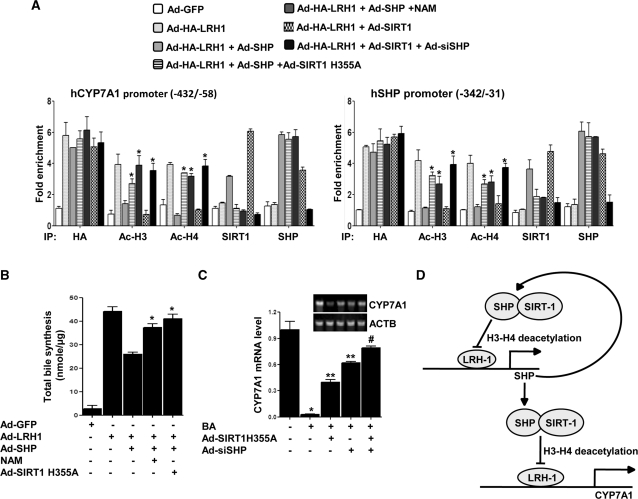 SHP recruits SIRT1 deacetylase to inhibit LRH1-mediated target gene activation. ( A ) The recruitment of SIRT1 by SHP on CYP7A1 (left) and SHP (right) gene promoters is associated with template-associated histone (H3 and H4) deacetylation. HepG2 cells were treated with indicated adenovirus vectors (50 MOI) for 36–72 h. Twelve hours prior to preparation of cell lysates for ChIP assay cells were treated with NAM (20 µM). Chromatin fragments were prepared and immumoprecipitated with the indicated specific antibodies. DNA fragments covering BARE-I and BARE-II element on CYP7A1 (left) and LRH1-binding regions on SHP promoter (right) were PCR-amplified as described in the 'Materials and Methods' section. ( B ) HepG2 cells were infected with adenovirus vectors as indicated for 36–72 h and for the last 12 h cells were treated with NAM (20 µM) as indicated. Media was collected for total bile synthesis using Sep-Pak cartridges as described in the 'Materials and Methods' section. Data is representative of atleast three independently performed experiments and shown as mean ± SD; * P