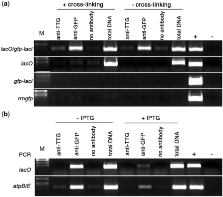 Binding of GFP-LacI to chloroplast-located lacO sequences. ( a ) PCR analysis of immunoprecipitated chloroplast DNA. Immunoprecipitation was carried out with the following treatments: antibody to A. thaliana TTG1, antibody to GFP or no antibody. Total DNA was extracted from a fraction of the chloroplast lysate that did not undergo immunoprecipitation. Control reactions for PCR included genomic DNA isolated from a transplastomic lacO line (+) and water (−). M, DNA size markers. (a) Binding of GFP-LacI to lacO. Primers were used to amplify a 409-bp sequence, which includes plastid-localized lacO (marked as position 3 in Figure 1(a). Experimental lines are listed on the left. Treatments shown in the left half of the panel were carried out following formaldehyde cross-linking, those on the right were not subjected to formaldehyde cross-linking. ( b ) Effect of IPTG on binding of GFP-LacI to lacO. PCR analysis of immunoprecipitated chloroplast DNA from lacO /GFP-LacI lines, using primers to amplify a 409-bp fragment encompassing lacO and a 396-bp fragment from atpBE (shown on left side). Treatments shown in the left half of the panel were carried out in the absence of IPTG, those in the right half were carried out in the presence of 20 mM IPTG.