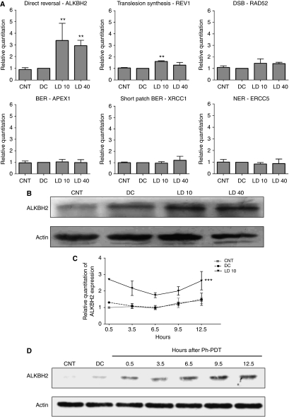 Photofrin-mediated PDT induces DNA repair gene expression. ( A ) Quantitative real-time RT–PCR of DNA repair genes at 48 h after Photofrin-mediated PDT. ALKBH2 and REV1 were significantly expressed in LD10 and LD 40; DC is used as reference sample and CNT is used to examine the background expression levels of different DNA repair genes in U87 glioma cells. Data are expressed as mean+s.d. and analysed using one-way ANOVA with Tukey's multiple comparison post-test of three independent experiments ( ** P