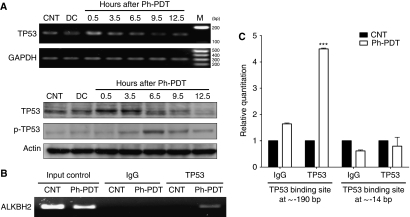 Function of TP53 in DNA repair after Photofrin-mediated PDT. ( A ) Expression of TP53 and p-TP53 at different time points after Ph-PDT. The TP53 mRNA and protein expression were increased at 0.5 and 3.5 h when compared with that of untreated control (CNT) and cells treated with Photofrin alone (DC). p-TP53 levels increased from 3.5 h and reached a maximum at 6.5 h. ( B ) Chromatin immunoprecipitations (ChIPs) were performed using anti-rabbit IgG or anti-p53 antibodies and then analysed by conventional PCR. Input control was DNA sample without any immunoprecipitation. ( C ) ChIP samples analysed and quantified by real-time PCR on two TP53-binding sites at approximately −190 bp and −14 bp from the transcription start site. Data are expressed as mean+s.d. and analysed by using paired t -test of three independent experiments ( *** P