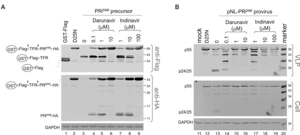 Known protease inhibitors block protease autoprocessing . A . HEK293T cells transfected with the indicated pEBG construct were incubated with or without protease inhibitors at increasing concentrations. Darunavir: 0.1 μM, 1 μM and 10 μM; Indinavir: 1 μM, 10 μM and 100 μM. Post-nuclear cell lysates were prepared at 40 h post-transfection and aliquots (~20 μL) of each sample were analyzed in parallel using monoclonal mouse anti-Flag, anti-HA, anti-GAPDH primary antibodies and IR800 goat anti-mouse secondary antibody. Schematic diagrams of the full length fusion precursor and processing products are indicated at left. Molecular mass markers (kDa) are indicated at right. B . HEK293T cells that were transfected with NL4-3-derived proviruses encoding the indicated proteases were incubated with or without protease inhibitors at the same concentrations as in panel A. Post-nuclear cell lysates (Cell) and VLP particles (VLP) were prepared as described (Materials and Methods) and subjected to western blot analysis using monoclonal mouse anti-p24. The full length Gag polyprotein (p55) and p24/p25 doublet are indicated at left.