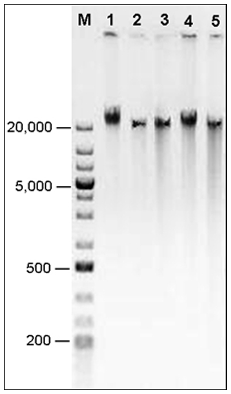DNA electrophoresis on 0.5% agarose gel at 45 volts for 2 hrs. GeneRuler™1 kb Plus DNA markers (M, in bp) and typical DNA samples isolated by SDS (1), CTAB (2), DNAzol® (3), <t>Puregene®</t> (4) and DNeasy® (5).