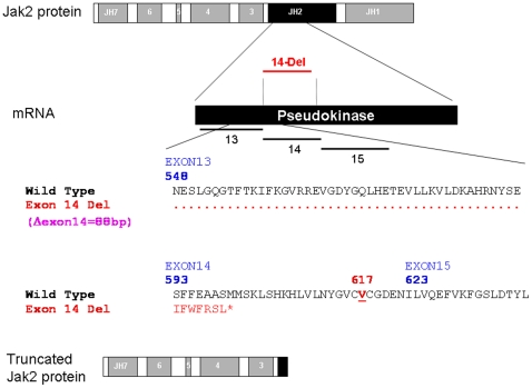 Schematic presentation of JAK2 Δexon 14. Top, schematic diagram of the JAK2 protein showing JAK homology domains 1 through 7 (JH1-JH7) with the JH2 pseudokinase domain highlighted in black. The corresponding exon regions of the mRNA is shown with the exons 13, 14, and 15. Because exon 14 is consists of 88 bp, its deletion leads to frameshift and early termination of translation after coding for seven new amino acids and elimination of the V617 codon of JAK2 (lower panel). The resulting truncated JAK2 protein is shown on the bottom.