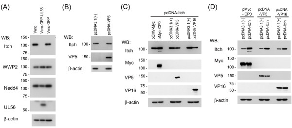 Effects of UL56 and other viral proteins with a PY motif on Itch . (A) Itch is markedly decreased in cells stably expressing UL56 (Vero-GFP-UL56). Lysates from Vero, Vero-GFP-UL56, or Vero-GFP cells were analyzed for Itch and other Nedd4-family ubiquitin ligases. Itch was markedly decreased in Vero-GFP-UL56 cells. (B) VP5 did not decrease endogenous Itch. Vero cells were transfected with plasmids encoding VP5 (pcDNA-VP5) or control plasmids (pcDNA3.1(+)). The levels of Itch did not change in cells transfected with pcDNA-VP5. (C) VP5 and VP16, but not ICP0, caused the decrease of exogenous Itch. Vero cells were co-transfected with plasmids encoding Itch (pcDNA-Itch) and plasmids encoding a viral protein (pMyc-ICP0, pcDNA-VP5, or pcDNA-VP16) or control plasmids (pCMV-Myc or pcDNA3.1(+)). The levels of Itch decreased in cells transfected with pcDNA-VP5 or pcDNA-VP16. (D) Overexpression of Itch has no effect on the protein levels of VP5, VP16, or ICP0. Vero cells were co-transfected with plasmids encoding a viral protein (pMyc-ICP0, pcDNA-VP5 or pcDNA-VP16) and either pcDNA-Itch or control plasmids (pcDNA-3.1(+)). The levels of viral proteins did not change with the overexpression of Itch. β-actin was used as a loading control.