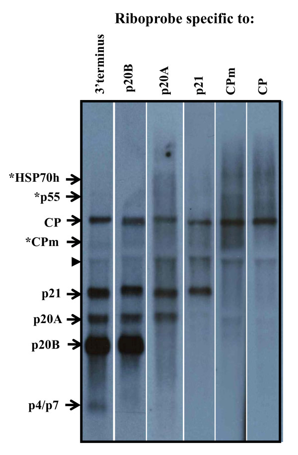 Northern blot analysis of total RNA extracted from grapevine (cv. Merlot) infected with GLRaV-3 . Northern blot hybridizations were carried out using a positive-stranded gene-specific riboprobes containing 3'terminus, p20A, p21, CPm, and CP sequences. Position of subgenomic (sg) RNAs is indicated by arrows on the left. Location of sgRNAs for CPm, p55 and HSP70h were tentative and indicated with an asterisk. The non-specific band present in all lanes is indicated by an arrow head.