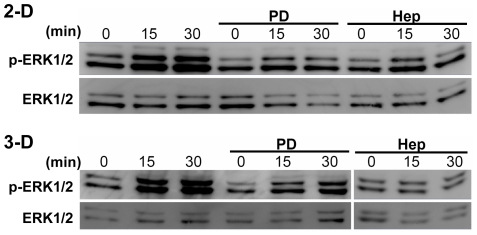 PD98059 and heparinase suppress both laminar flow and interstitial flow-induced ERK1/2 activation. Cells in 2-D or 3-D were pretreated with ERK1/2 inhibitor PD98059 (PD) or heparinase III (Hep) and then exposed to laminar flow or interstitial flow for 0 to 30 min. Cells were lysed and proteins were extracted for Western blotting. Gel panels were representative Western blots from three independent experiments, where similar results were found.