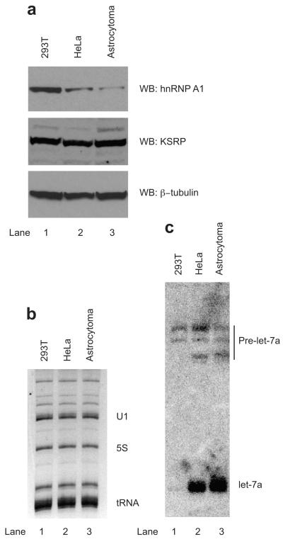 Levels of mature let-7a correlate negatively with the levels of hnRNP A1 in human cells. ( a ) Western blot analysis of whole cells extracts from 293T, HeLa and Astrocytoma 1321N1 cells shows different levels of hnRNP A1 expression and similar levels of KSRP, respectively. ( b , c ) Northern blots of total RNA from 293T, HeLa and Astrocytoma 1321N1 cells reveal different levels of mature let-7a. As a loading control, ethidium bromide stain of the RNA is shown on panel b. The black bar on panel c denotes let-7a precursors.