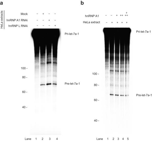 HnRNP A1 negatively regulates the Drosha-mediated processing of let-7a-1 ( a ) In vitro processing of pri-let-7a-1 is enhanced in the hnRNP A1-depleted extracts. Internally radiolabeled pri-let-7a-1 transcripts (100 × 10 3 c.p.m.) were incubated in the presence of either control HeLa extracts or hnRNP A1-depleted extracts. Lanes (−) shows negative controls with no extract added. Products were analyzed on an 8% polycrylamide gel. Numbers on the left hand side represent RNA size marker. ( b ) In vitro processing of pri-miRNAs pri-let-7a-1 performed in HeLa cell extracts in the presence of increasing amounts of recombinant hnRNP A1 (+, 200 ng, ++, 400ng, +++, 800ng).