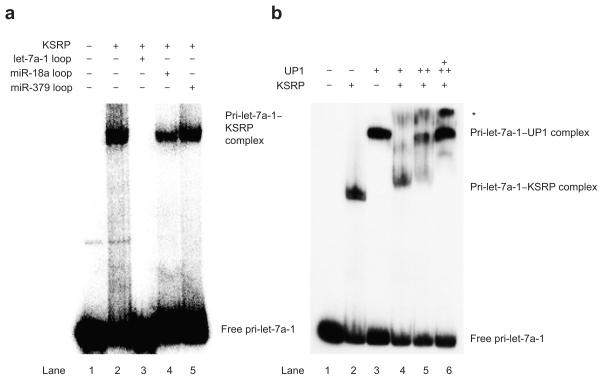 KSRP and hnRNP A1 compete for binding to the pri-let-7a-1 terminal loop. ( a ) EMSA analysis of wild-type 5′ 32 P-labeled pri-let-7a-1 transcripts (100 × 10 3 /~2.5 pmol) with GFP-KSRP protein (+, 200 ng) in the absence of presence of various unlabeled RNA competitors (100 pmol). ( b) EMSA analysis of wild-type 5′ 32 P-labeled pri-let-7a-1 transcripts (5 × 10 3 /~0.125 pmol) with GFP-KSRP protein (+, 200 ng, lane 2), UP1 (+, 200 ng, lane 3)), or a constant amount of GFP-KSRP (+, 200 ng) incubated together with increasing amounts of UP1 (+, 200 ng, ++, 400 ng, +++, 800 ng, lanes 4-6). * indicates a slower migrating complex that only appears in the presence of both UP1 and KSRP and could reflect simultaneous occupancy