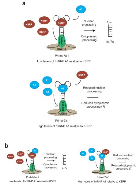 Cartoon displaying the antagonism of KSRP and hnRNP A1 in the post-transcriptional regulation of let-7a processing. ( a ) This model illustrates how the relative levels of KSRP and hnRNP A1 may influence a direct competition between a repressor and an activator binding to the same sequence and determine the processing of let-7a-1 ( b ) Simultaneous occupancy of pri-let-7a-1 terminal loop by both KSRP and hnRNP A1 cannot be ruled out; however, high levels of hnRNP A1 always result in the abrogation of let-7a-1 processing.