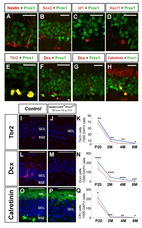 Prox1 is required in the subgranular zone during adult neurogenesis. During adult neurogenesis, Prox1 is not expressed in Nestin + (A), Sox2 + (B), or Id1 + (C) adult neural stem cells or in Acsl + Type-IIa intermediate progenitors (D). Instead, Prox1 is expressed in Tbr2 + (E) and Dcx + Type-IIb intermediate progenitors (F), Type-III intermediate progenitors (G), and Calretinin + immature neurons. Graphs compare the number of Tbr2 + (K) Dcx + (N) and Calretinin + (Q) cells in P20, 2-mo-old, 4-mo-old, and 8-mo-old control (blue) and Nestin-CreER T2 ;Prox1 F/F (red) mice. A reduced number of Tbr2 + (J, K), Dcx + (M, N), and Calretinin + (P, Q) cells was observed in the SGZ of 4-mo-old Nestin-CreER T2 ;Prox1 F/F mice. Data represent the mean number of positive cells per DG section ± SD. N = 3 brains. Paired t test. * p
