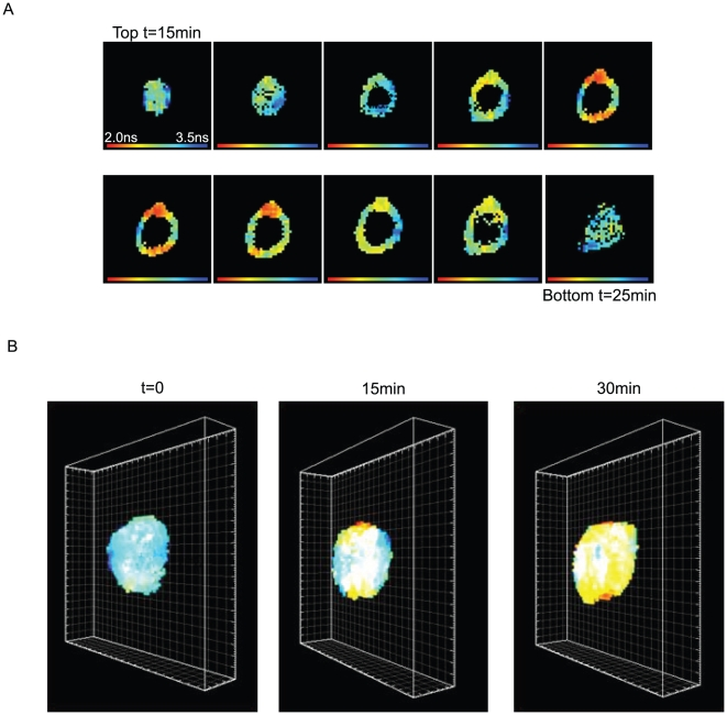 3D view of nuclei visualised by FLIM. (A) Stack measurements of a nucleus: the first image corresponds to the fluorescence lifetime of the BODIPY measured at the top of a nucleus 15 minutes after photo-activation of caged GTP. Ten successive layers of the same nucleus were obtained. For each layer the focus of the objective was moved 0.25 µm along the Z-axis. Since the acquisition of one image lasts for 1 minute, the last image corresponding to the bottom of the nucleus was measured 25 minutes after the induction of NE formation. (B) 3D reconstructions from the Z-stacks of the same nucleus to form fluorescence lifetime 3D views. The indicated times correspond to the time elapsed after photo activation when the first image of each stack was measured.