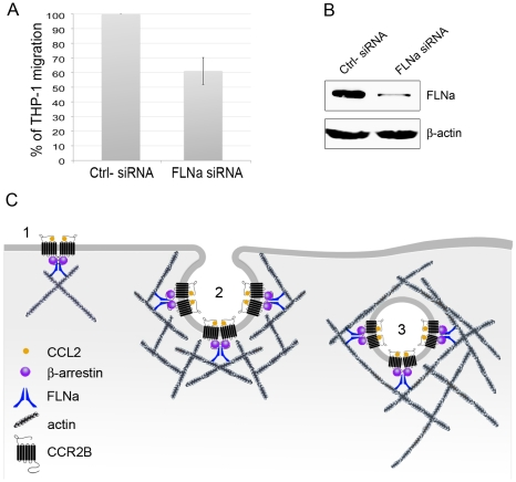 Chemotaxis in response to CCL2 is significantly reduced in THP-1 cells treated with FLNa siRNA. ( A ) Histogram of mean chemotaxis migration results from THP-1 cells treated for 5 days with 100 nM of FLNa siRNA or negative control siRNA. Cells were left to migrate for 24 hours. Experiments were repeated four times. ( B ) Immunoblot of FLNa knock-down in THP-1 cells with 100 nM FLNa siRNA or negative control siRNA as indicated. ( C ) Schematic model of CCL2-activated CCR2B in the cell membrane and during internalization. 1 ) Dimerized FLNa interacts with the C-terminus of the CCR2B through at least repeat 19 and with β-arrestin through repeat 22. β-arrestin also binds the third intracellular loop of CCR2B. In addition, FLNa interacts with actin to crosslink actin fibers . 2 ) Vesicle-budding step of CCR2B-endocytosis. During CCL2-induced clathrin-mediated endocytosis of CCR2B, FLNa links the receptor and arrestin molecules to actin. Actin polymerization is triggered when the clathrin coat and the plasma membrane start to invaginate, and stops when vesicle scission occurs. 3 ) Endogenous vesicles can be propelled through the cytoskeleton by actin comet tails, which might facilitate movement towards cytoskeletal structures or aid the fusion of endocytic organelles.
