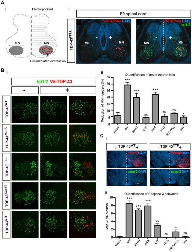 "RNA-binding activity is required for TDP-43-mediated motor neuron loss in chick. (A) Stable unilateral expression of human TDP-43 variants in chick ( Gallus gallus ) spinal cord. [i] Schematic of expression system mediating motor neuron-restricted expression upon unilateral transfection. [ii] Unilateral expression of human TDP-43 FFLL (red) in embryonic day 9 (E9) chick spinal cord (nuclei labeled with DAPI: blue): transversal section at lumbar levels. ""−"" and ""+"" respectively indicate control and transfected hemicords. Isl1/2 labels motor neuron nuclei (green). (B) [i] Examples of thoracic motor columns (Isl1/2 + motor neurons: green) upon TDP-43 variant expression (red). [ii] Quantification of motor neuron loss upon TDP-43 variant expression over all obtained sections (in ""-"" versus ""+"" hemicord). Differences relative to control (t-student's test) are indicated. (C) [i] Activated Caspase-3 (green) detected in E5 motor neurons upon TDP-43 WT expression (indicated by IRES-cherry bi-cistronic reporter: red). Compared to E5 motor neurons expressing TDP-43 WT , little activation of Caspase-3 was detected upon TDP-43 CTF expression. [ii] Quantification of Caspase-3 activation in motor neurons of transfected hemicords versus vector control. Significant differences are indicated (t-student's test - relative to control). *p"