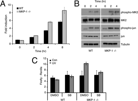 Loss of DUSP1/MKP-1 results in increased MAPK signaling and gene transcription. A , wild-type ( WT ) or Dusp1 / Mkp-1 −/− MEFs were either mock irradiated or exposed to 30 J/m 2 UV and then incubated at 37 °C for the indicated times. c-Fos mRNA levels were determined using quantitative RT-PCR. B , wild-type or Dusp1 / Mkp-1 −/− MEFs were either mock irradiated or exposed to 30 J/m 2 UV and then incubated at 37 °C for the indicated times. Cells were lysed, and proteins analyzed by SDS-PAGE followed by Western blotting using the indicated antibodies. C , wild-type or Dusp1 / Mkp-1 −/− MEFs were cotransfected with a firefly luciferase reporter driven by the proximal 3-kb region of the DUSP1 / MKP-1 promoter and as a transfection control a plasmid encoding Renilla luciferase. After 24 h, cells were preincubated with either dimethyl sulfoxide ( DMSO ) or 10 μ m SB203580 ( SB ), exposed to 30 J/m 2 UV, and then incubated at 37 °C for 5 h. Cells were lysed, and luciferase activities were determined. Experiments were performed three times, each with triplicate determinations and mean values with associated errors are shown (mean ± S.E.).
