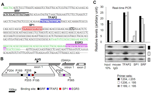 Transcription factors SRF and TFAP2 bind to the FXN gene promoter region in vivo . (A) Sequence of 5′-end of the human FXN gene. Sequences are color-coded: intronic sequences in green, exon 1 and exon 2 in black. Putative transcription factor binding sites identified by Genomatix analysis are annotated in bold black for SRF, in bold blue for TFAP2, in bold red for SP1, and in bold pink for EGR3. Start codon (AUG) in exon 1 is in bold black. (B) Schematic diagram of human FXN promoter region showing the location of the putative regulatory sequences. Black-filled square: SRF binding site; blue-filled square: TFAP2 binding site; red-filled square: SP1 binding site; pink-filled square: EGR3 binding site. Primers used in the ChIP assays are designated as: P189, P195, P204, P205, P206, P364, and P365. (C) Binding of SRF and TFAP2 to the FXN promoter in vivo was quantified by chromatin immunoprecipitation (ChIP) and quantitative real-time PCR (qRT-PCR). The upper panel is the quantification of FXN promoter chromatin, immunoprecipitated using antibodies raised against SRF, TFAP2, and SP1. Three pairs of primers flanking the putative binding sites of these transcription factors were used for the qPCR analysis. The lower panel shows the end-products of the qPCR reactions separated by agarose gel electrophoresis. Primers specific for human FXN intron 4 were included as an internal negative control (data not shown).