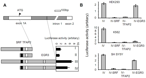 The SRF and TFAP2 binding sites in the FXN promoter are important for frataxin expression. (A) Luciferase analysis of a novel intronic regulatory region of the FXN gene. The upper panel portrays the upstream region of the FXN gene including the exon 1 and 2 and intron 1. Bottom panel: luciferase activity was measured in cells transfected with luciferase constructs containing truncated FXN promoter fragments containing the SRF and TFAP2 binding sites. Filled square: SRF binding site; open square: TFAP2 binding site; dotted square: EGR3 binding site. The four luciferase constructs are designated as I, II, III, IV (see MATERIALS AND METHODS ). (B) Mutation of the SRF and TFAP2 binding sites in the FXN promoter dramatically decreased luciferase activity driven from FXN promoter fragment IV. Mutation of the predicted EGR3 transcription factor binding site in intronic sequence of the FXN gene showed cell line-specific effects on transcriptional activity. Three separate experiments were carried out. For each experiment, duplicate transfections were performed. Error bars represent the standard deviation.