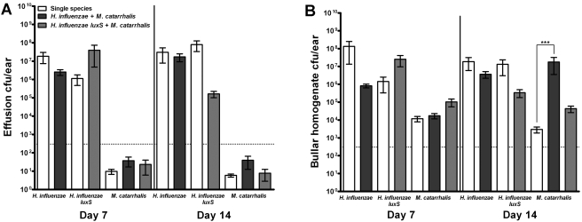Polymicrobial infection augments M. catarrhalis persistence in vivo . Chinchillas were infected with 10 3 CFU of H. influenzae or H. influenzae luxS , 10 4 CFU of M. catarrhalis , or a mixture of both species. (A) Middle ear effusion fluids were removed for enumeration of viable H. influenzae and M. catarrhalis bacteria by plating on sBHI medium plus clarithromycin or BHI medium, respectively. (B) Bullae were removed at each time point and homogenized for enumeration of viable H. influenzae and M. catarrhalis bacteria, as described above. Data represent the mean results from four experiments ± SEM. ***, P