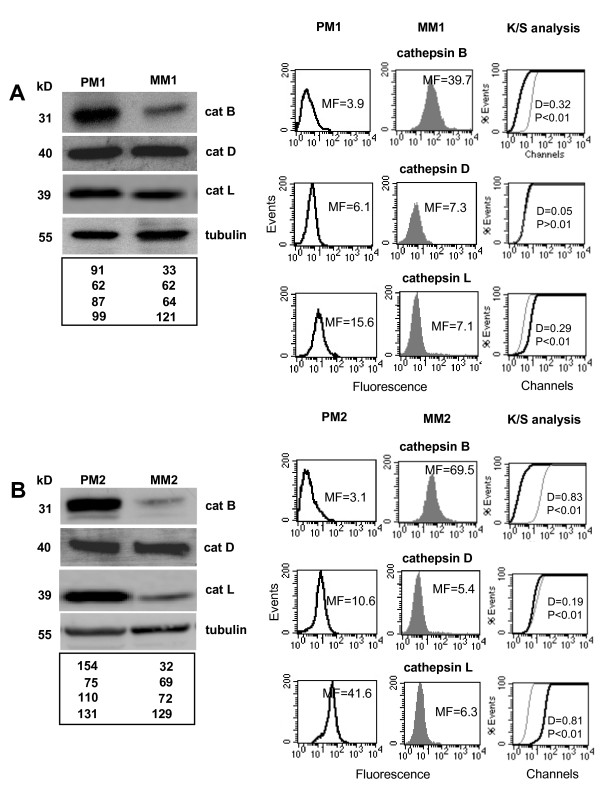 Cathepsin B expression in cells from primary and metastatic human melanomas . Western blot analysis (left panels) of cathepsin B, cathepsin D, cathepsin L and tubulin in the primary melanoma cell lines PM1 ( A ) and PM2 ( B) and in the metastatic melanoma cell lines MM1 ( A ) and MM2 ( B ). Quantitative flow cytometry analysis (right panels) of plasma membrane cathepsin B in PM1 ( A ) and PM2 ( B ) cell lines and in MM1 ( A ) and MM2 ( B ) cell lines. The values of Western blot signals, reported in the bottom panels of ( A ) and ( B ), were obtained by densitometric analysis and expressed as arbitrary units (a.u.). Numbers in the right panels of ( A ) and ( B ) represent the median fluorescence values. In the right panels of ( A ) and ( B ) statistical analysis performed by non-parametric K/S test is reported.