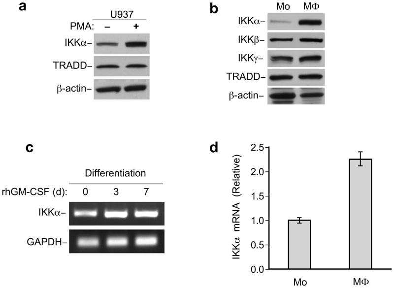 IKKα is upregulated during monocyte differentiation (a) Immunoblot analysis of IKKα in U937 vs. PMA-differentiated U937 cells. (b) Immunoblot analysis of IKKα IKKβ and IKKγ in monocytes (Mo) vs. macrophages (MΦ). TRADD and β-Actin blots indicate loading of lanes (a, b). (c) Semi-quantitative RT-PCR analysis the IKKα mRNA level of monocytes cultured with rhGM-CSF for different days as indicated, GAPDH mRNA as control in this assay. (d) Quantitative Real time PCR analysis of IKKα mRNA in monocytes (Mo) vs. macrophages (MΦ), the relative IKKα level was normalized to GAPDH. Error bars, +/− standard deviation from the mean.