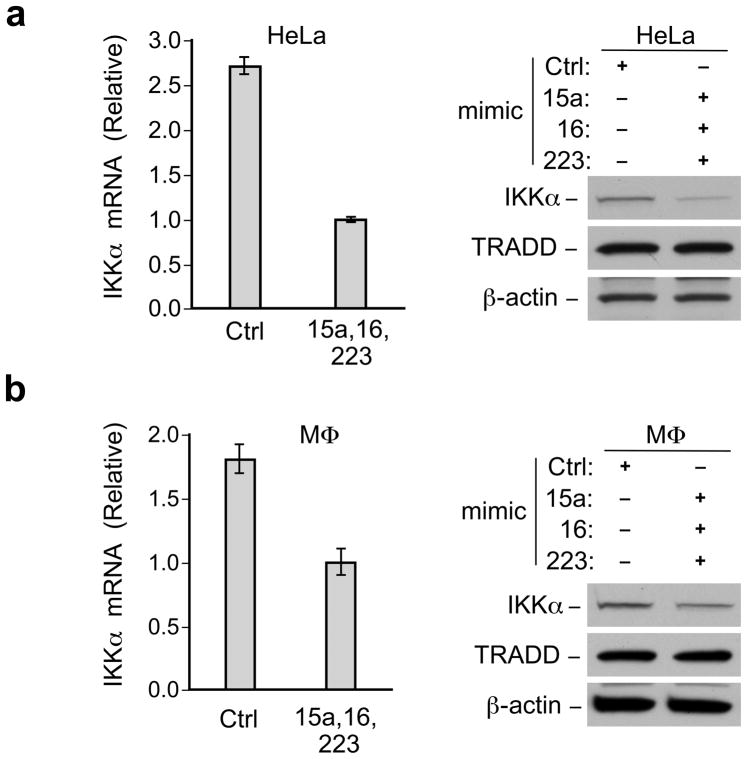 MicroRNAs mimics reduce IKKα mRNA stability mRNA and protein was isolated from HeLa cells (a) or macrophages (MΦ), (b) transfected with control mimic or pooled miRNA mimics. IKKα mRNA was measured by real time PCR (left) and protein level of IKKα was analyzed by immunoblot (right). mRNA levels were normalized to GAPDH mRNA. Data representative of at least 5 independent experiments. Error bars, +/−standard error of the mean. TRADD and β-actin immunoblots indicate loading of lanes.