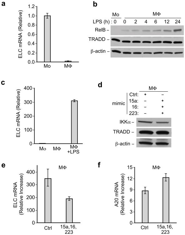 IKKα-targeting miRNAs affects noncanonical and canonical NF-κ.B gene expression (a) Real time PCR analysis of ELC mRNA in monocytes and macrophages, normalized to GAPDH, data representative of at least three independent experiments. Error bars, +/−standard deviation of the mean. (b) Anti-RelB immunoblots of lysates from macrophages (MΦ) treated with LPS for indicated time course (in hours). (c). Real time PCR analysis of ELC mRNA in monocytes, macrophages, or LPS-treated macrophages, normalized to GAPDH. Data representative of at least three independent experiments. Error bars, +/−standard deviation of the mean. (d)(e)(f), Macrophages (MΦ) were transfected with miRNA mimics or control mimic and 24 hours after transfection, cells were or were not challenged with LPS (1μg/ml) for another 24 hours. (d) Immunoblot showing IKKα protein level in corresponding protein samples for (e, f). (e) ELC and (f) A20 mRNA expression as measured by real time PCR, normalized to GAPDH mRNA. The relative fold increase in LPS treated cells compared to untreated cells is shown for (e) and (f) . Error bars, +/− range based on standard deviation of the mean. Data representative of at least three independent experiments. TRADD and β-actin blots indicate loading of lanes, (b, d).