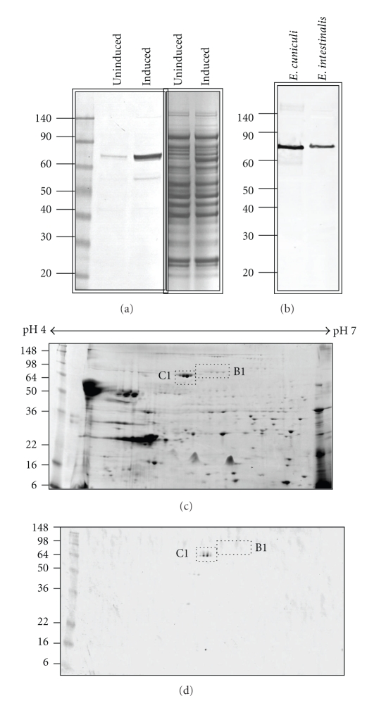 Heterologous expression of E. cuniculi C1 Hsp70 protein as a histidine fusion protein in E. coli and Western blot analysis using purified C1 antibodies. A Coomassie stained <t>SDS-PAGE</t> gel ((a), right panel) of uninduced and IPTG induced expression of the recombinant protein shows a ~76 kDa protein in the induced lane. A Western blot of the SDS-PAGE gel was performed using histidine-tag-specific antibodies ((a), left panel) confirmed the recombinant protein induction. (b) A single ~76 kDa band was detected on 1D Western blot of E. cuniculi and E. intestinalis total spore protein using purified C1 Hsp70 protein antibodies. (c) The C1 (ECU02_0100) and B1 (ECU03_0520) Hsp70-related proteins were identified from a Coomassie stained 2D SDS-PAGE gel of E. cuniculi total spore protein by MALDI-MS analysis of trypsin digested gel spots. (d) Western analysis of the 2D gel using the C1 specific antibodies detected only the C1 protein (d).