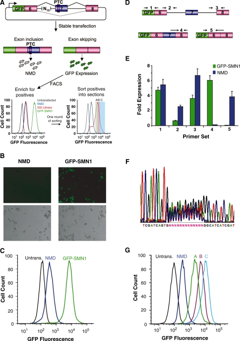 A Screening PLatform for Intronic Control Elements (SPLICE) provides a generalizable in vivo screening strategy for ISREs. ( A ) SPLICE couples an exon inclusion event in a mini-gene (SMN1) to the expression level of a fluorescent protein (GFP) through a NMD-based reporter system. A random nucleotide library cloned upstream of the 3′ ss is screened for ISREs by sorting cells based on fluorescence levels. The enriched cells are sorted into sections (A, B, C) in a second screening round. ( B ) Microscope images of stable cell lines expressing the negative (NMD) and positive (GFP-SMN1) control constructs. (Upper panels) GFP fluorescence, lower panels: phase contrast images. ( C ) Flow cytometry histograms of stable cell lines expressing the control constructs. An untransfected HEK-293 FLP-In cell population (Untrans.) was also analyzed for reference. ( D ) Schematic representing the relative locations of primer set binding for transcript isoform analysis by qRT-PCR. Primer sets were used to quantify levels of total transcript (set 1), intron 6 retention (set 2), intron 7 retention (set 3), exon 7 included isoform (set 4) and exon excluded isoform (set 5). Primer binding locations within the SMN1 mini-gene are presented in Supplementary Figure S3 . ( E ) qRT-PCR analysis of the NMD and GFP-SMN1 control cell lines supports decay of the PTC harboring isoform. Expression levels were normalized to the levels of HPRT (hypoxanthine-guanine phosphoribosyltransferase). Data presented is the mean expression of duplicate PCR samples ± the average error. ( F ) DNA sequencing analysis of purified genomic DNA from HEK-293 cell lines harboring the library constructs. ( G ) The enriched cell populations maintain the fluorescence levels of the sorted sections (A, B, C). Following the second round of sorting, the fluorescence levels of expanded populations were re-analyzed through flow cytometry to confirm maintenance of expression levels.