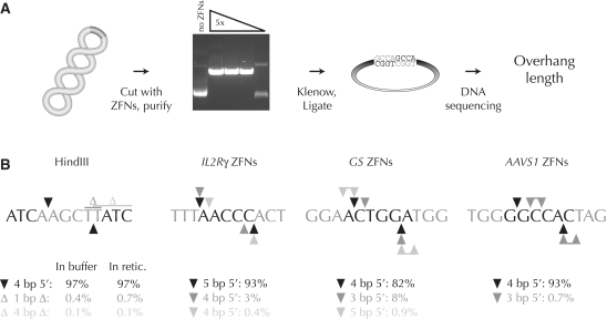 Analysis of the overhang types created by ZFNs. ( A ) Scheme to determine ZFN overhangs. A supercoiled plasmid with a ZFN cleavage site is cut by a titration of in vitro transcribed and translated ZFNs. ZFN-linearized plasmids are purified by gel electrophoresis, 5′ overhangs filled in with Klenow polymerase (grey nucleotides), and the resulting blunt ends ligated. The mixture is subjected to high-throughput DNA sequencing. ( B ) Overhang types generated by a control restriction enzyme (HindIII) and three of the ZFN pairs used in this work. For clarity, only one DNA strand is shown. Enzyme binding sites are shown in grey; only the flanking three nucleotides are shown for ZFN binding sites. Primary cleavage sites, black triangles; secondary and tertiary cleavage sites, dark and light grey triangles, respectively; deletions, Δ. Microhomology within the target site can prevent unambiguous deduction of the overhang type. In such situations the possible overhangs are shown as joined triangles. Either of the two indicated thymidine residues may have been deleted after HindIII digestion.