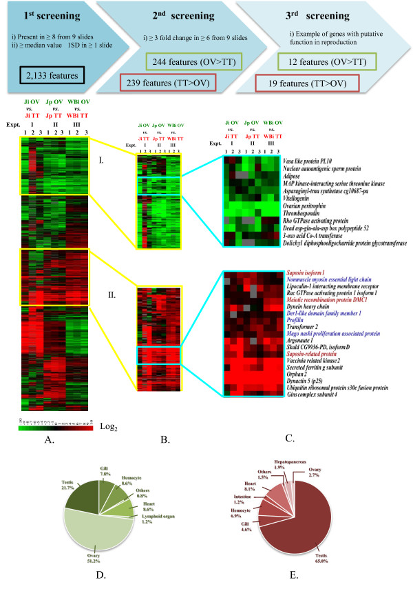 Gene expression analysis by <t>cDNA</t> microarray comparing P. monodon transcripts between testis (TT) and ovary (OV) in individual juvenile (Ji), pooled juvenile (Jp) and individual wild-caught broodstock (WBi) . TT was labeled with Cy5 fluorescent dye (red) and OV with Cy3 fluorescent dye (green). (A) Hierarchical clustering analysis of the transcripts present in at least 8 of 9 slides and whose expression differences were at least equal to median value ± 1SD in at least 1 slide. (B) Clusters I and II of transcripts with higher expression levels in testis than ovary and vice versa with at least 3-fold difference in at least 6 of 9 slides. (C) Examples of differentially expressed transcripts with putative functions in reproductive development. Transcripts in blue letters are those which were not found in any EST libraries of other tissues. Saposin and Dmc1 (in red) were further characterized by <t>RACE-PCR.</t> (D) Library distributions of transcripts expressed higher in ovary than in testis (244 transcripts) and (E) those expressed higher in testis than in ovary (239 transcripts).