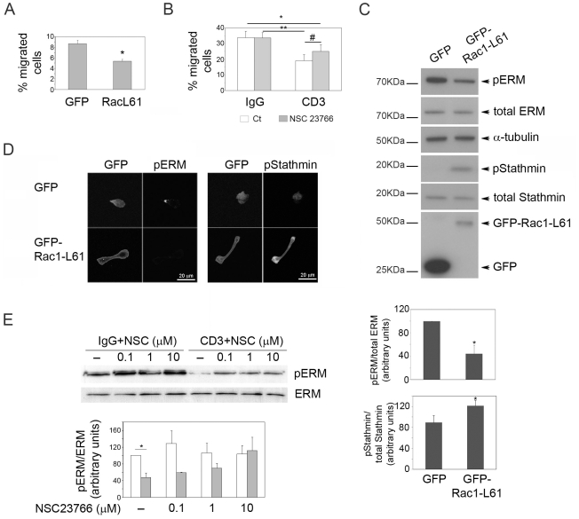 Rac activation is required for TCR-induced inhibition of migration and polarity. (A) T cells expressing GFP or GFP-Rac1-L61 (constitutively active) were assayed for migration in ICAM-1-coated transwells. The mean of 3 independent experiments +/− S.E.M. is shown; *p