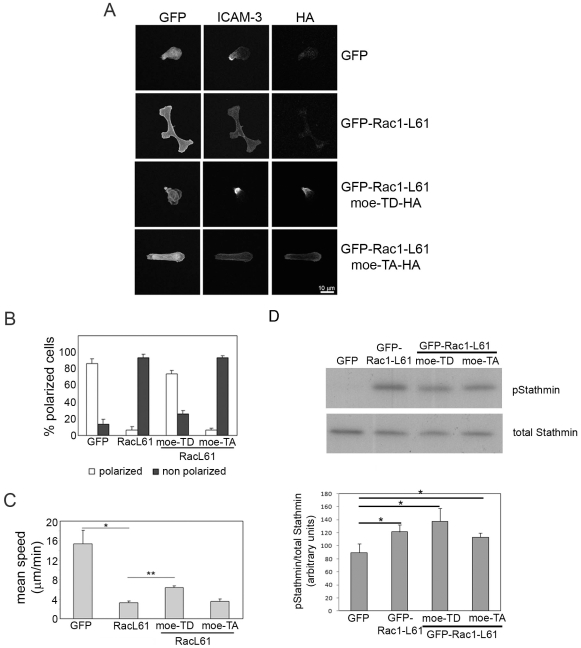 A phosphomimetic moesin mutant reverts Rac1-L61 inhibition of T cell polarization and motility. (A) Cells transfected with the indicated plasmids were stained for ICAM-3 and the HA tag on moesin. Moe-TD-HA, moesin-T558D-HA; Moe-TA-HA, moesin-T558A-HA. Representative images are shown. Scale bar, 10 µm. (B) Frequency of each cell morphology; mean of the % of cells in 3 independent experiments +/− S.E.M. Only transfected cells were analysed. Polarized: cells with uropod and clustering of ICAM-3 (open bars). Non-polarized: Cells with multiple protrusions or absence of uropod and homogeneously distributed ICAM-3 (black bars). (C) T cells expressing the indicated proteins were imaged by time-lapse microscopy on ICAM-1; migration speed of transfected cells pre-treated with the indicated antibodies is the mean of the average speed in four different experiments +/− S.E.M.; p