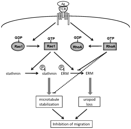 Schematic model for mechanisms leading to TCR-induced loss of migratory polarity. TCR engagement by antigen leads to activation of Rac1 (increased Rac1-GTP) and inhibition of RhoA (decreased RhoA-GTP). Active Rac1 stimulates stathmin phosphorylation, leading to microtubule stabilization, and reduces ERM phosphorylation, leading to loss of uropod structures. Active RhoA normally stimulates ERM phosphorylation and reduces microtubule stability, and these responses are reduced when RhoA activity decreases. Loss of the uropod together with increased microtubule stability reduces migratory polarity and hence inhibits migration.